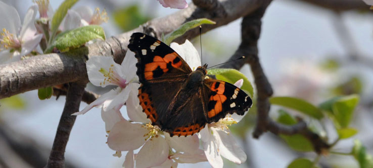 A butterfly on an apple tree, one of the region's most important crops.